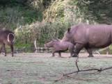 Schattig: jong neushoorntje voor het eerst op safari in Burgers' Zoo