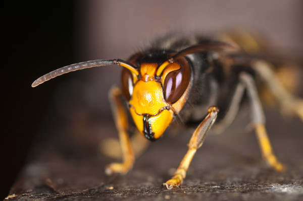 De gevreesde Aziatische hoornaar.
