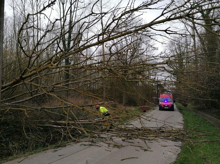 In Cotthem waaide een boom uit. Brandweerpost Sint-Lievens-Houtem kwam de boom verzagen.