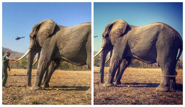 Op de foto rechts is te zien hoe de olifant uit de foto van Harry eigenlijk vastgebonden was.