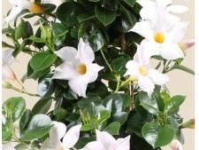 Vrouw rukt bloeiende planten uit Zaltbommelse tuinen