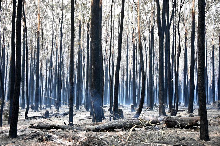Zwartgeblakerde bomen in Old Bar, 350 kilometer ten noorden van Sydney.  Beeld AFP