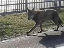Provincie Groningen maakt jacht op 'gekke' Duitse wolf