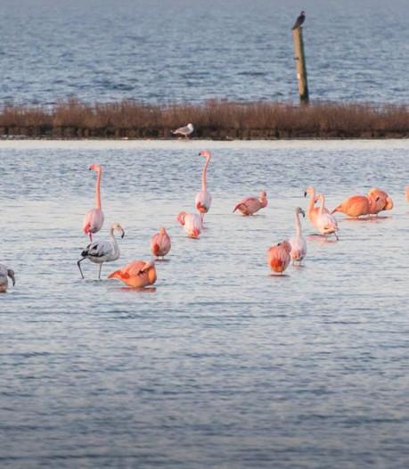 'Komst flamingo's vraagt om extra toezicht in de Biesbosch'