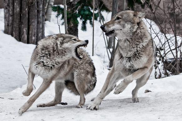 De wolf van 40.000 jaar geleden was twee keer zo groot als de hedendaagse wolf.