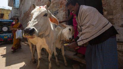 Moslim in India gelyncht op verdenking van het smokkelen van heilige koeien