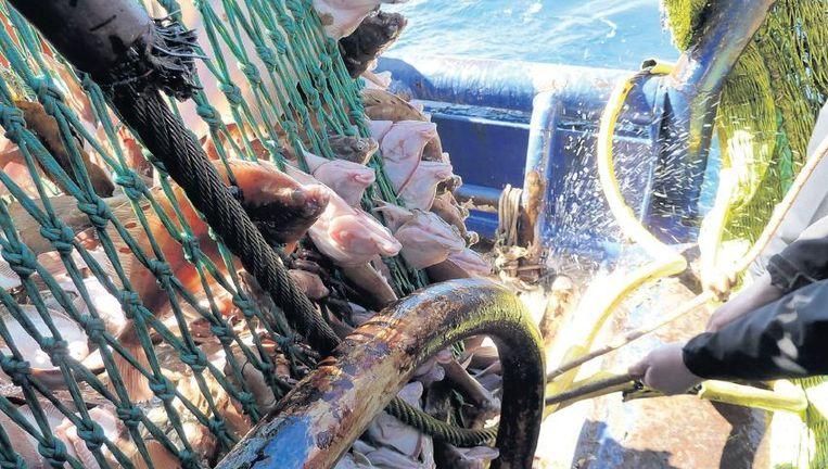 Op een schip van Ekofish wordt een net schol aan boord gehesen. De vis zal even later op een elektrisch geladen rooster worden verdoofd. Beeld Trouw