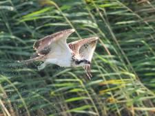 Derde visarendpaar vindt plekje in Biesbosch, zij is Duits en hij komt uit Engeland