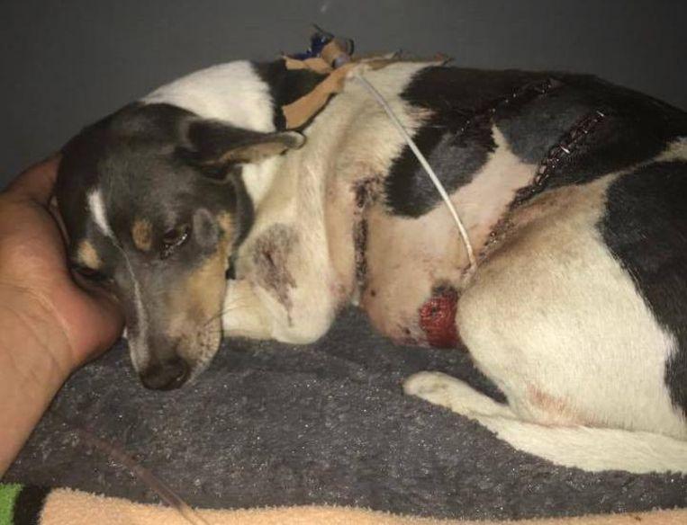 Jack russell Marie is twee keer met spoed geopereerd, maar heeft de aanval overleefd.
