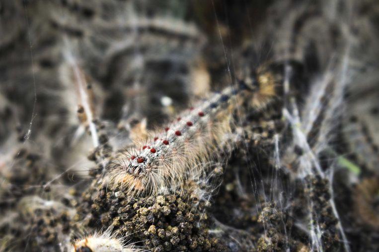 Een kolonie eikenprocessierupsen afgelopen zomer. Er zullen nu geen levende rupsen meer in nesten zitten, maar wel nog honderdduizenden brandharen. Die kunnen lichamelijk letsel veroorzaken bij mens en dier.