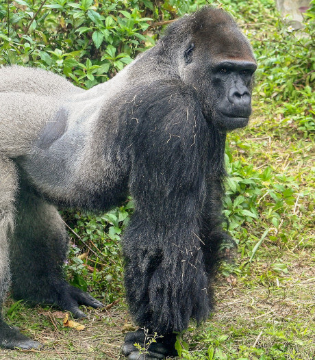 Nieuwe gorillabaas Apenheul heeft z'n eerste vrouw al ontmoet