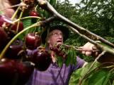 Fruitteler Roel uit Est geeft gratis kersen weg