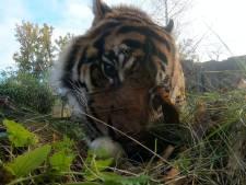 Zien: Tijgers van Arnhemse dierentuin verslinden onbevrucht zwanenei