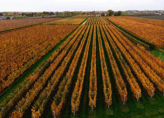 Het is herfst en dan kleuren de fruitbomen in de Betuwe roestbruin: zoals hier langs de Rijnbandijk tussen Ingen en Lienden.