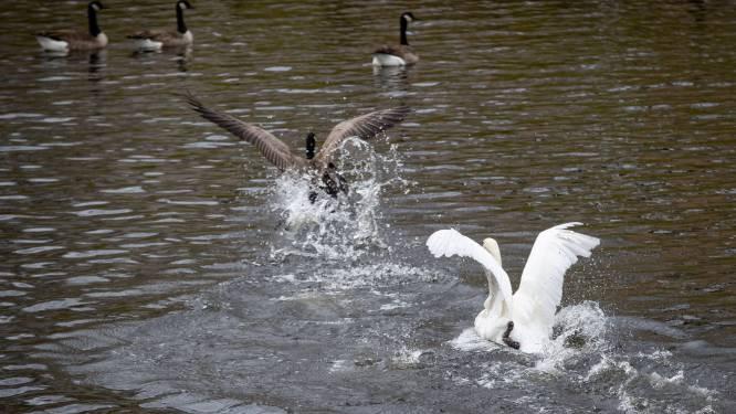Vogelgriep: Leefmilieu Brussel vraagt om melding te maken van dode vogels