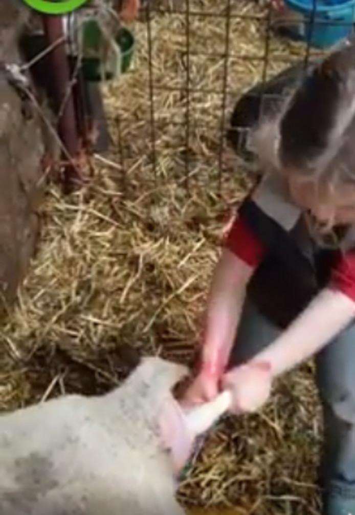 De kleine veearts Sofie (3) uit Lierderholthuis is een ware hit op internet.