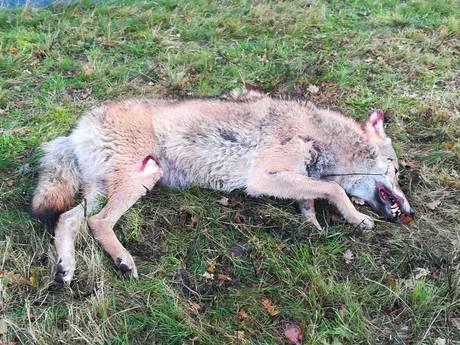 De langzame comeback van de wolf in Nederland