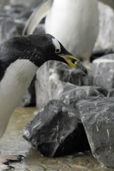 Broedseizoen in Blijdorp van start: de pinguïns spurten naar het beste nest
