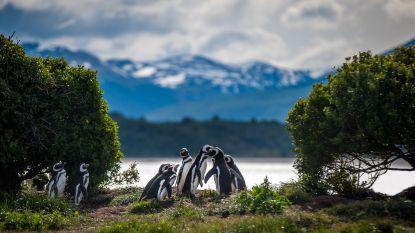 Eindelijk snappen wetenschappers waarom vrouwtjespinguïns massaal stranden in Zuid-Amerika