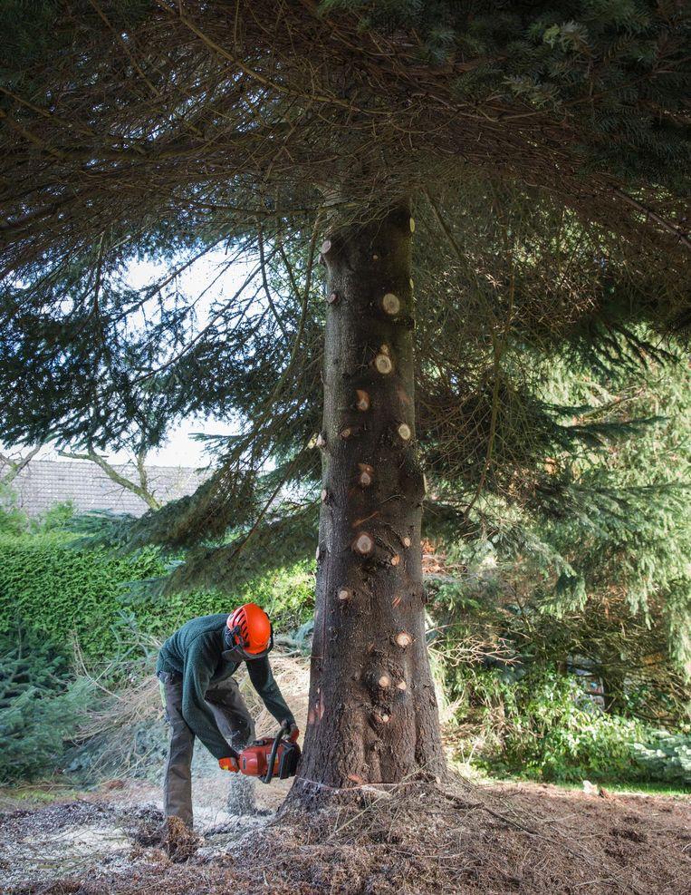 Het bedrijf heeft een netwerk van bomenscouts en is gespecialiseerd in het vinden van XL-bomen Beeld Dingena Mol