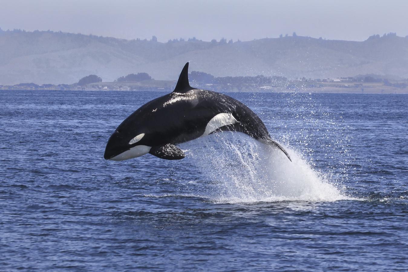 Een volwassen orka kan zo'n 6000 kilo wegen en deinst niet terug voor een witte haai.