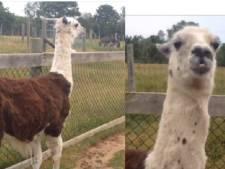 Lama Alfred vermist rond De Uithof