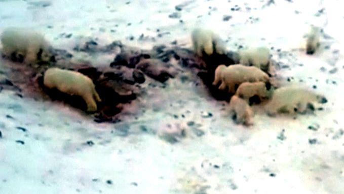 Schrijnend: klimaatverandering dwingt tientallen ijsberen om karkas te delen