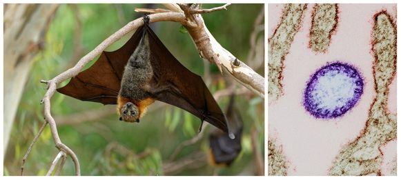 Net als het huidige coronavirus is ook nipah (illustratie rechts) een 'vleermuisvirus'