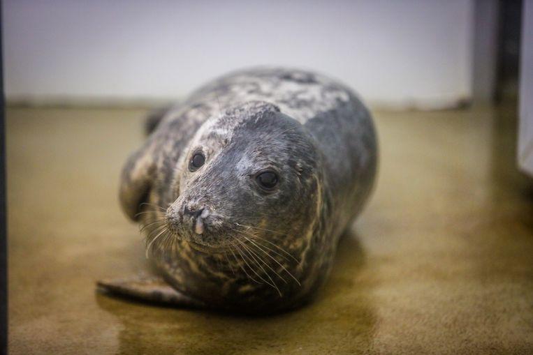 De eerste zeehond van 2020 waar Sealife zich over ontfermt