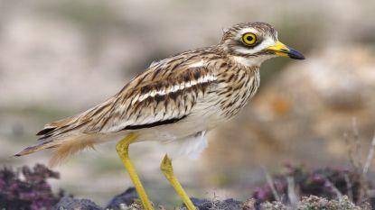 Toevloed van zuiderse vogels in ons land