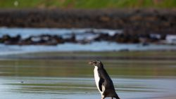 Pinguïn legt 2.500 km af van Nieuw-Zeeland naar Australië en moet 8 weken recupereren om weer terug te zwemmen
