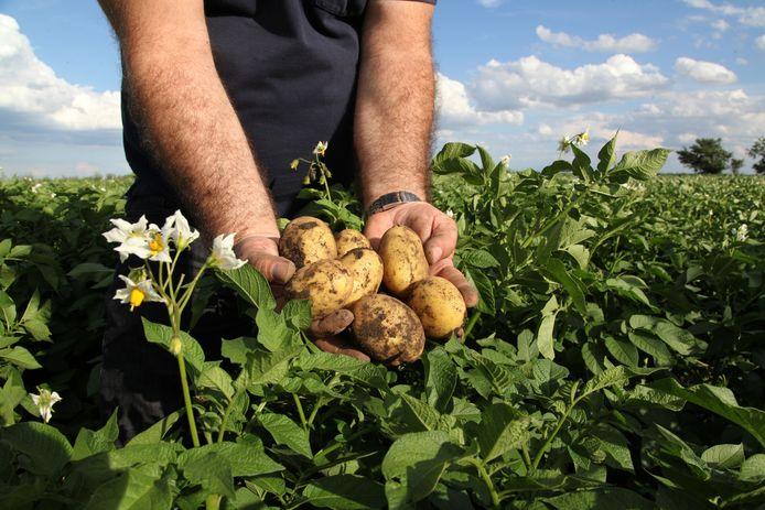 stockadr aardappel Man in the fields holding yellow potatoes in fields