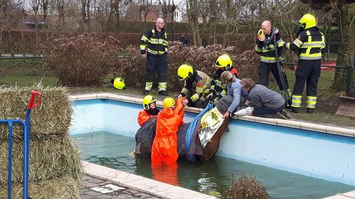 Het dier werd gered uit het zwembad.