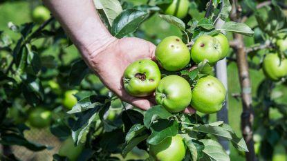 Zorgen bij de fruitboeren: zware hagelschade, en nu nog eens die hitte
