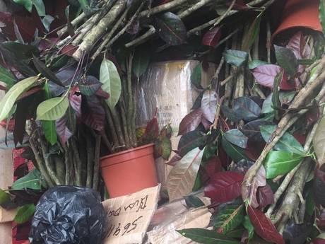 Douane vindt 65 kilo cocaïne tussen kamerplanten in container Vlissingen
