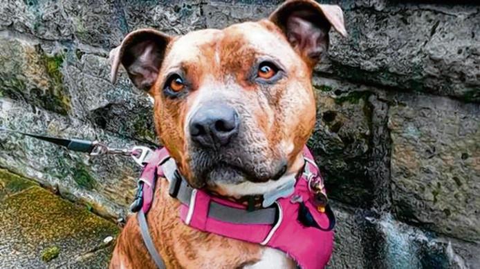 Hoog risico-honden worden, als het aan de Raad voor Dierenaangelegenheden ligt, voortaan afgemaakt als ze betrokken zijn bij een vechtincident waarbij mensen of dieren ernstig gewond raken.