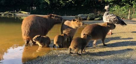 Winterse geboortegolf in ZooParc Overloon: 'Super mooi'
