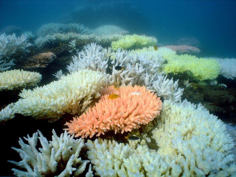 Het rif voor de kust van Australië staat bekend om zijn unieke soorten koraal. Beeld AFP