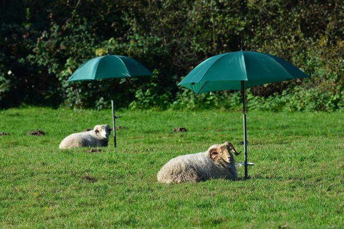 Met deze foto heeft Peter Koggel de eerste weekprijs gewonnen. 'Mochten deze schapen in Acht het te warm krijgen, dan kunnen ze lekker onder een parasol gaan liggen.'