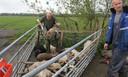 De veearts laat de zwaargewonde schapen inslapen.