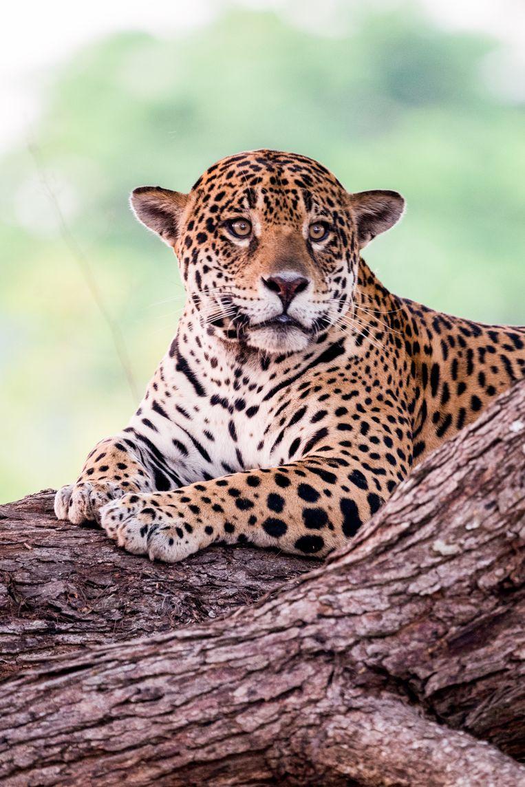 Jaguar. Beeld Noel van Bemmel