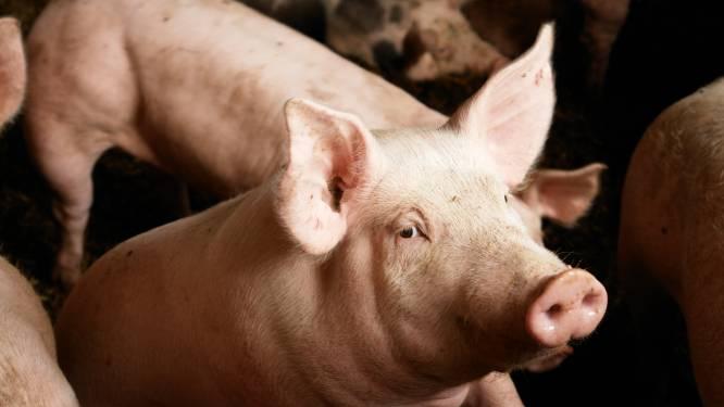 Dertig varkens stikken door giftige gassen, brandweer probeert momenteel andere dieren te redden