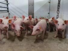 """Gents bedrijf ontwikkelt medicijn tegen diarree bij biggen: """"Europa telt 150 miljoen varkens, dan weet je hoe groot de markt is"""""""