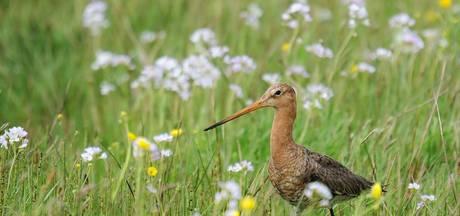 Recordaantal nesten weidevogels gevonden
