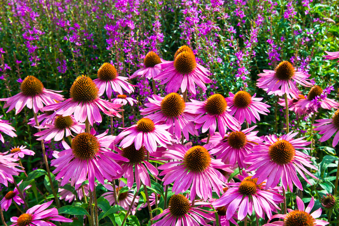 Echinacea purpurea 'Vintage Wine' (rode zonnehoed)