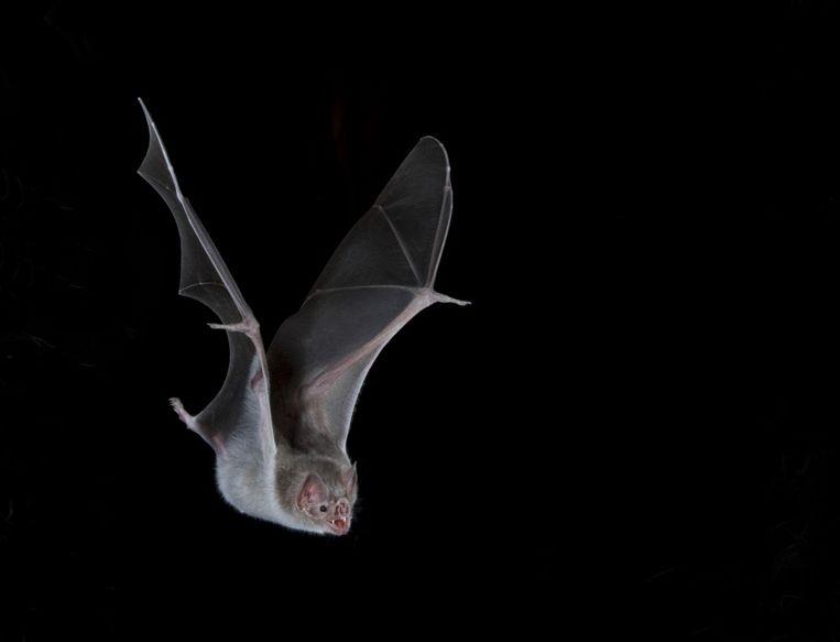 Vampiervleermuis in Mexico. Beeld Hollandse Hoogte / Nature Picture Library