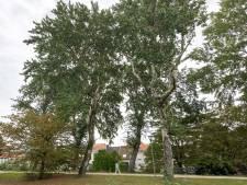 Bomen kappen om groene long van Terneuzense binnenstad juist mooier te maken