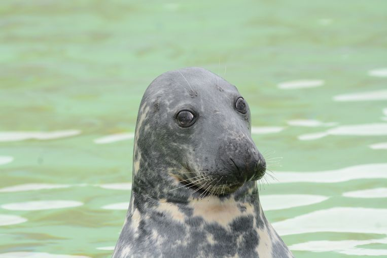 Zeehond Bram is overleden op 45 jarige leeftijd. Beeld Ecomare
