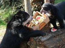 't Is lente in de Zoo: fruittaart voor jarig brilbeertje Tinka, gorillababy Thandie vertedert bezoekers