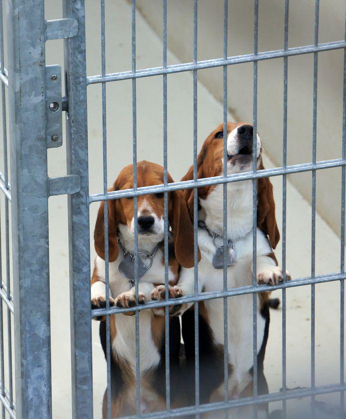 Beagle-honden die voor dierproeven worden gebruikt.